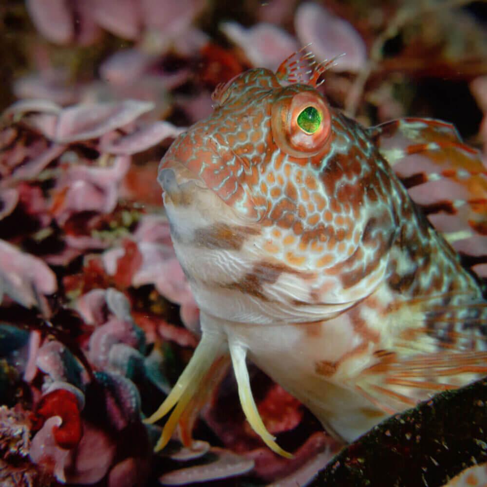 Ringneck Blénio fotografado debaixo de água nas águas de Sesimbra