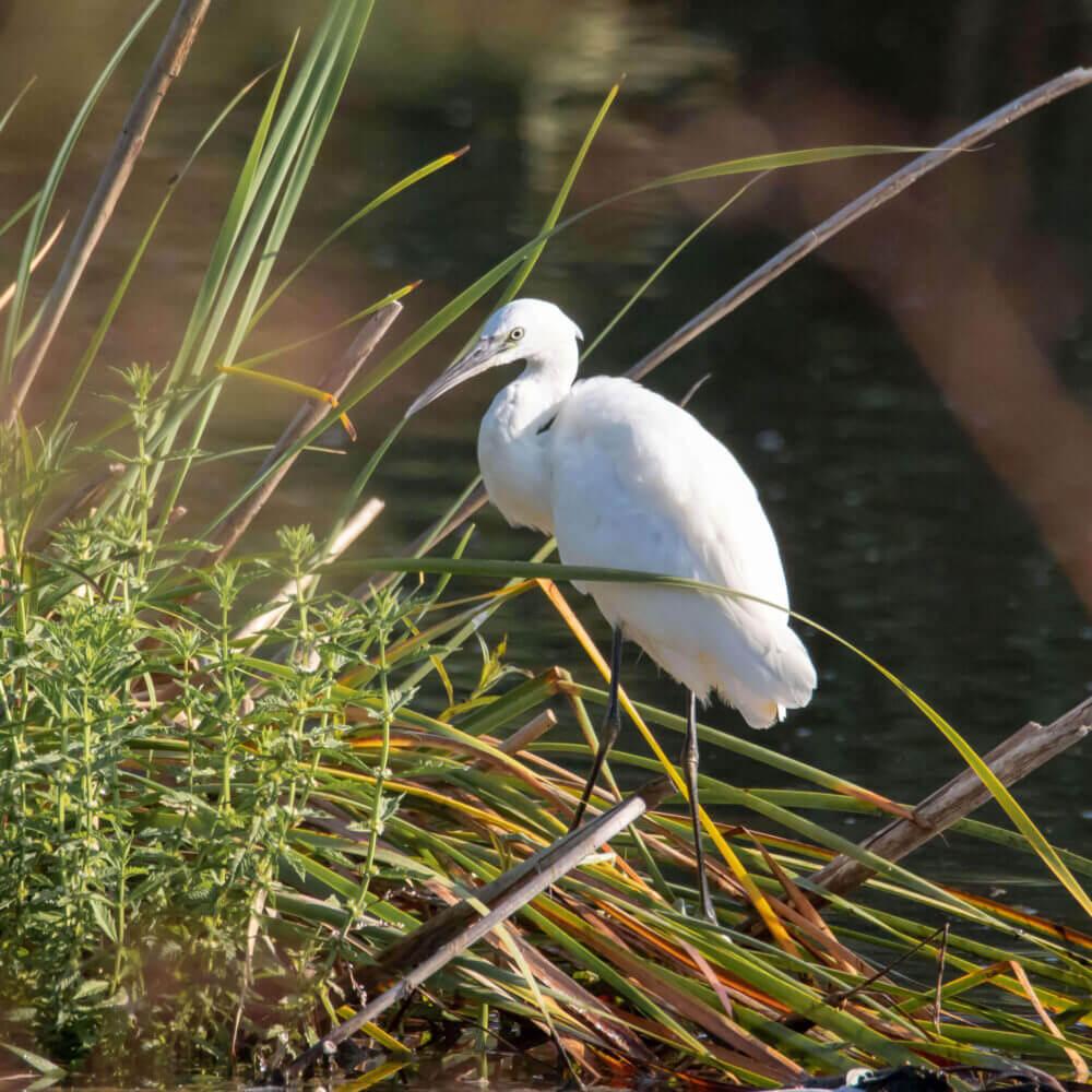 Observação de aves na zona protegida da Lagoa de Albufeira